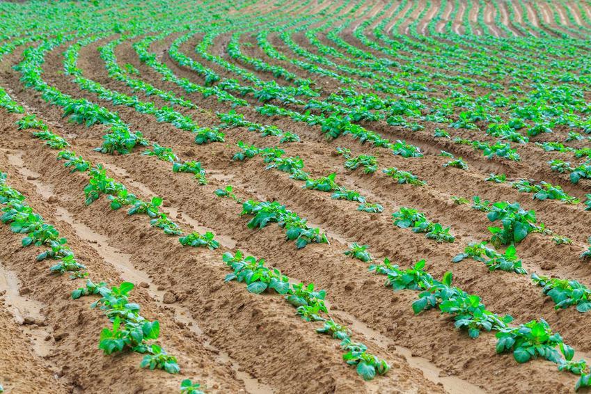 Uprawa w ogrodzie słodkich ziemniaków dobrze się sprawdza. Rośliny szybko się rozwijają, a ich bulwy nadają się do zjedzenia, mają wiele składników odżywczych.