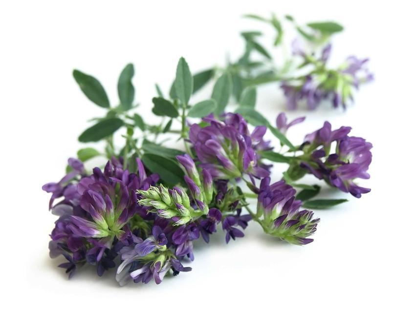 Lucerna siewna to jedena z najładniejszych roślin. Ma duże właściwości lecznicze, jego zastosowanie lecznicze jest niezwykle szerokie