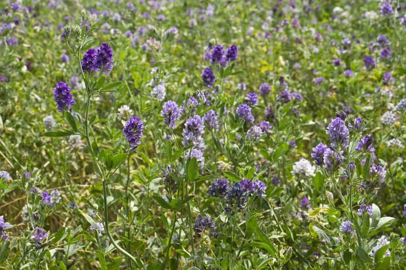 Lucerna siewna w czasie kwitnienia na fioletowo, a także odmiany, zastosowanie, siew, uprawa i pielęgnacja rosliny