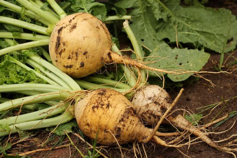 Korzeń białej rzepy, a także informacje o pielęgnacji i uprawie w ogrodzie, sadzenie, podlewanie krok po kroku