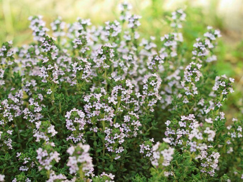 Uprawa tymianku w ogrodzie nie jest trudna i nie powinna nastręczać większych problemów. Tymianek ma niezwykłe właściwości i bardzo szerokie zastosowanie w kuchni.
