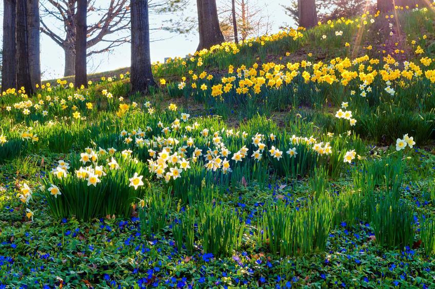 Narcyz wiosenny ma bardzo wiele kolorów. Sadzenie cebulek nie jest trudne, a uprawa nie jest wymagająca.