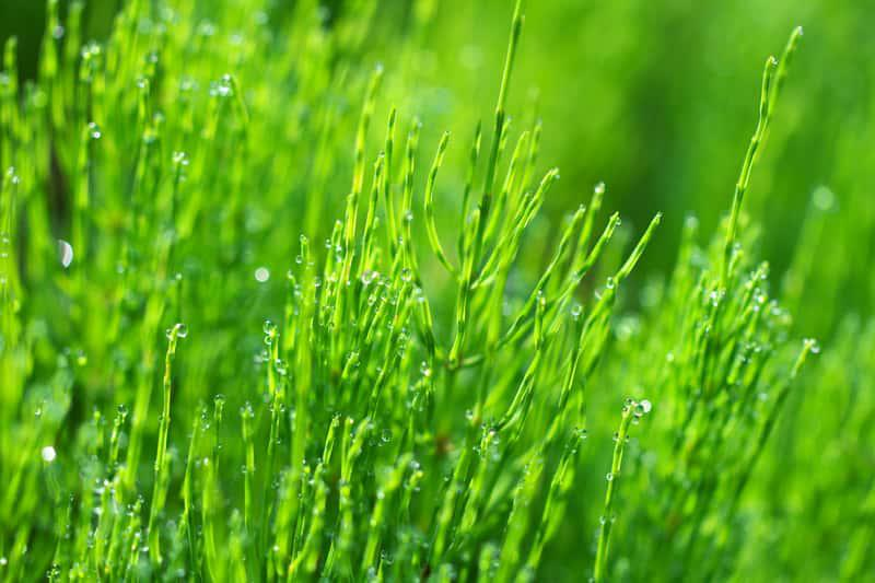 Skrzyp polny o zielonym kolorze, delikatne pędy i ich właściwości lecznicze, zastosowanie, zwalczanie jako chwast