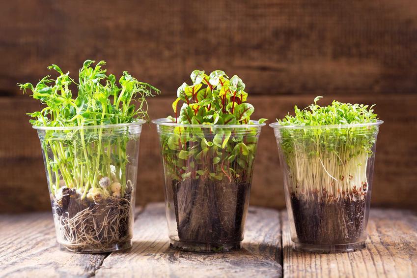 Jest kilka sposobów na uprawę rzeżuchy. Roślina dobrze się czuje się na wacie, można także uprawiać ją w małych doniczkach.