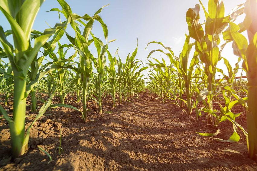 Uprawa kukurydzy w ogrodzie dobrze się udaje. Kukurydza cukrowa nie jest trudna w uprawie, a jest bardzo smaczna i wartościowa