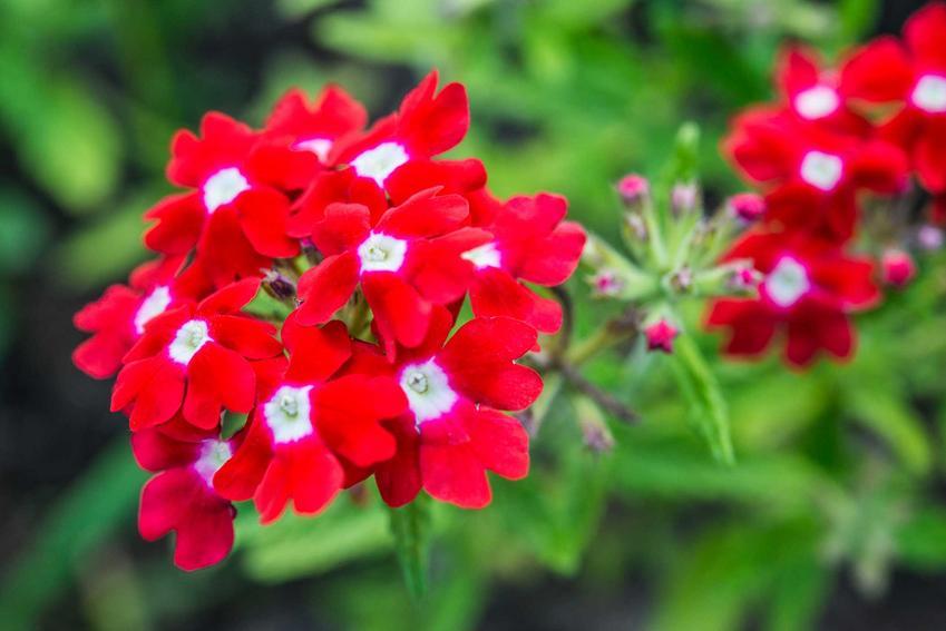 Werbena ogrodowa w doniczce o różowych kwiatach wspaniale prezentuje się w doniczkach i może być zestawiona z różnego rodzaju kwiatami i gatunkami