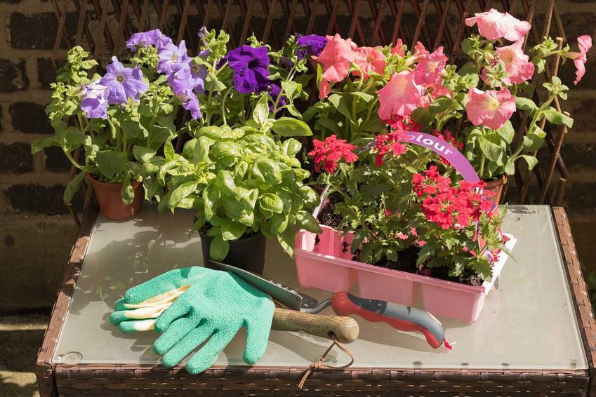 Werbena ogrodowa o wzniesionych łodygach pięknie się prezentuje w ogrodzie i w doniczkach. Często ma drobne, czerwone kwiaty, które składają się w kuliste kwiatostany.