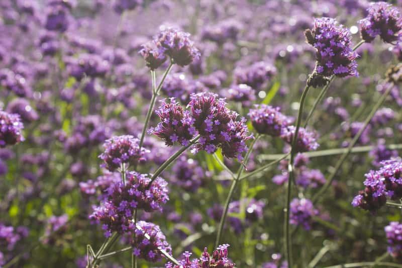 Werbena patagońska o fioletowych kwiatach, a także najważniejsze informacje: pielęgnacja, uprawa, siew nasion, sadzenie