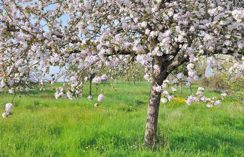 Drzewa liściaste w ogrodach bardzo ładnie się prezentują. Do najbardziej popularnych należą brzoza brodawkowata i różnego rodzaju klony.