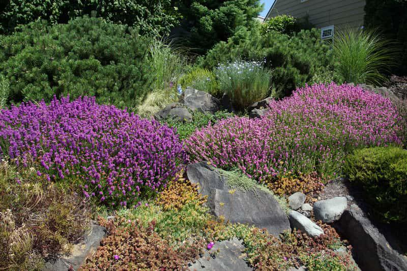 Wrzosy kwitnące na fioletowo w ogrodzie skalnym, a także jak zrobić piękny ogród przydomowy - inspiracje i pomysły