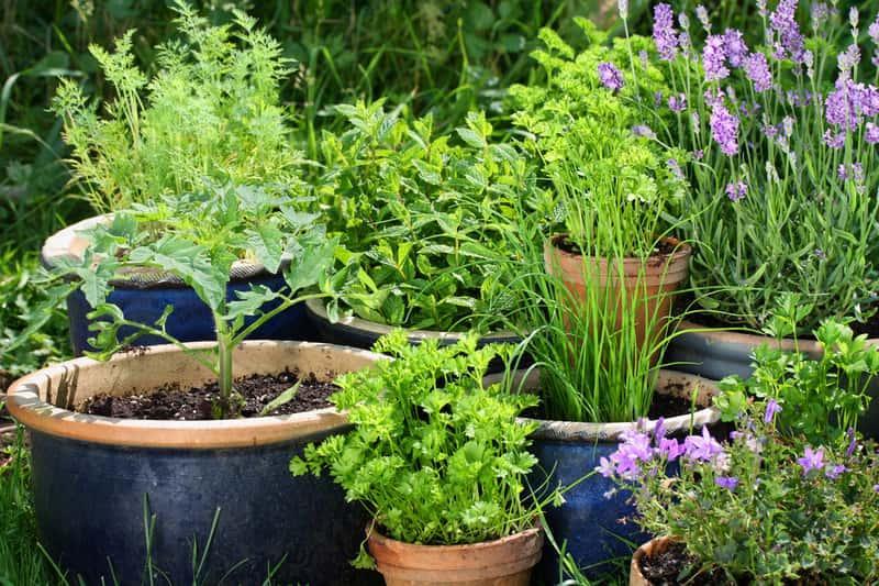 Różne zioła w doniczkach wystawionych do ogrodu, a także informacje, jak zrobić piękne ogrody przydomowe, najlepsze sposoby