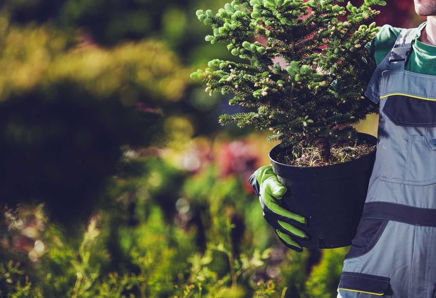 Hodowla sosny w ogrodzie bardzo dobrze się sprawdza. Roślina jest bardzo wytrzymała, wymaga jednak odpowiedniej pielęgnacji, podlewania i nawożenia.