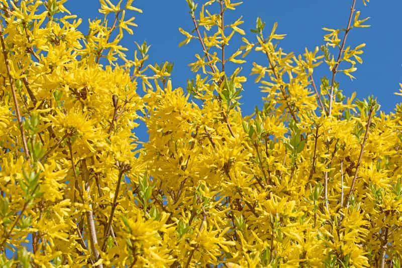 Forsycja o kwiatach kwitnących na żółto, a także pielęgnacja, podlewanie oraz uprawa i nawożenie tego wyjątkowego krzewu krok po kroku