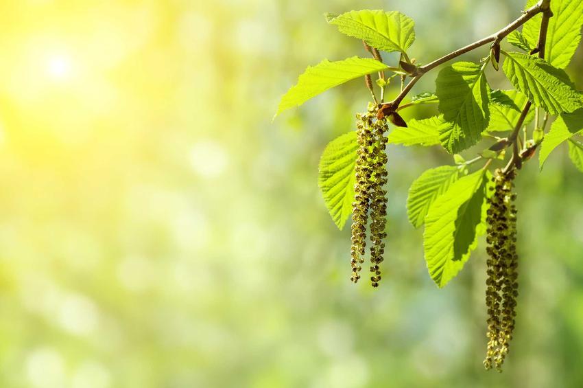 Olcha to piękna roślina, która wspaniale prezentuje się w ogrodzie. Pielęgnacja drzewka nie jest trudna, podobnie jak sadzenie i uprawa małych drzewek.