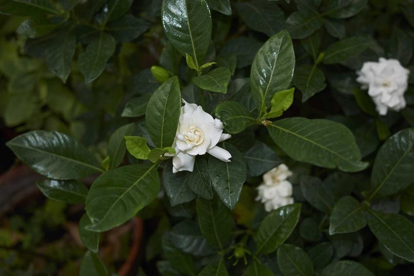 Gardenia w doniczce przepięknie się prezentuje. Uprawa nie jest trudna, a wymagania nie są duże, także podlewanie nie jest trudne.
