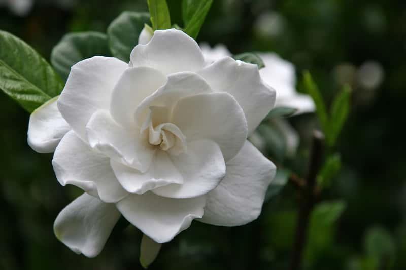 Gardenia doniczkowa o pieknych kwiatach, a także uprawa, pielęgnacja oraz podlewanie i zimowanie w domu