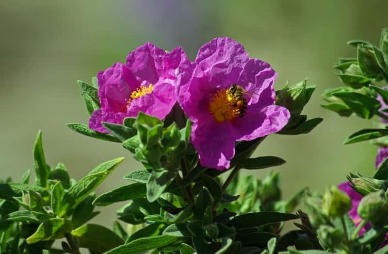Zioło czystek w czasie kwitnienia, a także zastosowanie ziela, herbatki i napary, właściwości lecznicze
