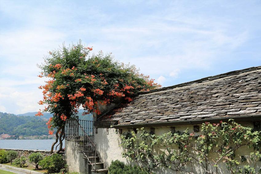 Gęsty milin amerykański o licznych pomarańczowych kwiatach przy starym domu na tle rzeki, gór i morza