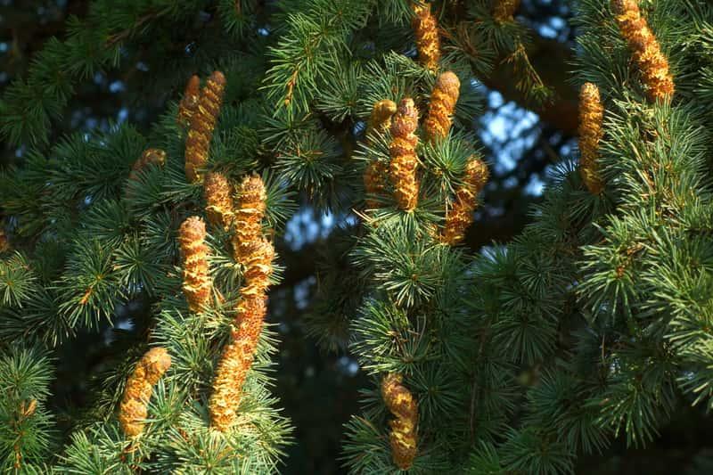 Gałęzie świerku z szyszkami, czyli warunki uprawy,  pielęgnacja, wybór najciekawszych gatunków drezw i krzewów iglasty do ogrodu