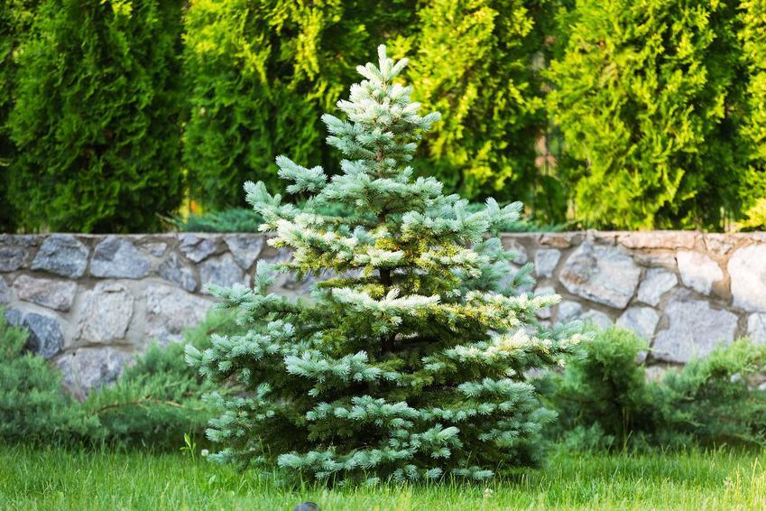 Świerki to najpopularniejsze gatunki drzew do ogrodu. Drzewa iglaste są łatwe w pielęgnacji i bardzo ładnie się prezentują w ogrodzie.