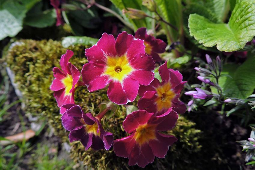 Prymulka w doniczce wspaniale wygląda. Jej podlewanie, uprawa i pielęgnacja nie są trudne, a roślina przepięknie wygląda.