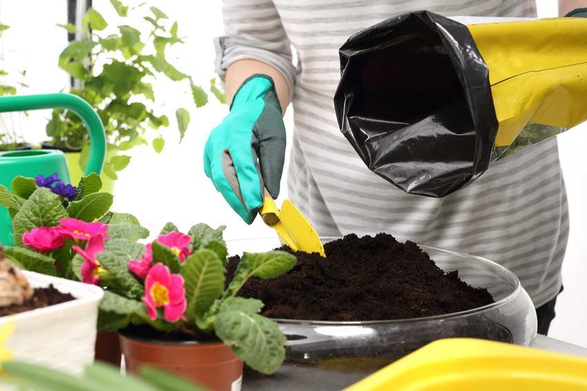 Przesadzanie i sadzenie prymulki nie jest trudne. Roślina bardzo dobrze się przyjmuje w nowym miesjcu.