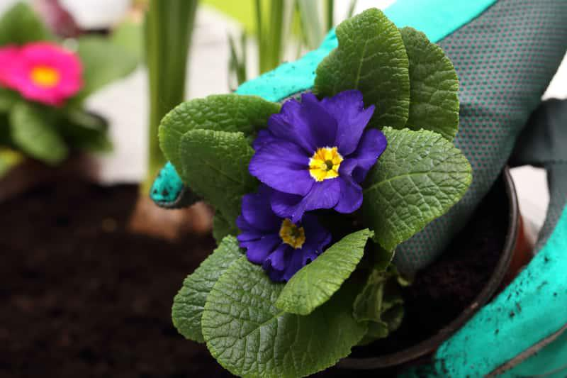 Prymula ogrodowa, czyli pierwiosnek o fioletowych kwiatach, a także inne odmiany oraz uprawa, podlewanie i pielęgnacja krok po kroku