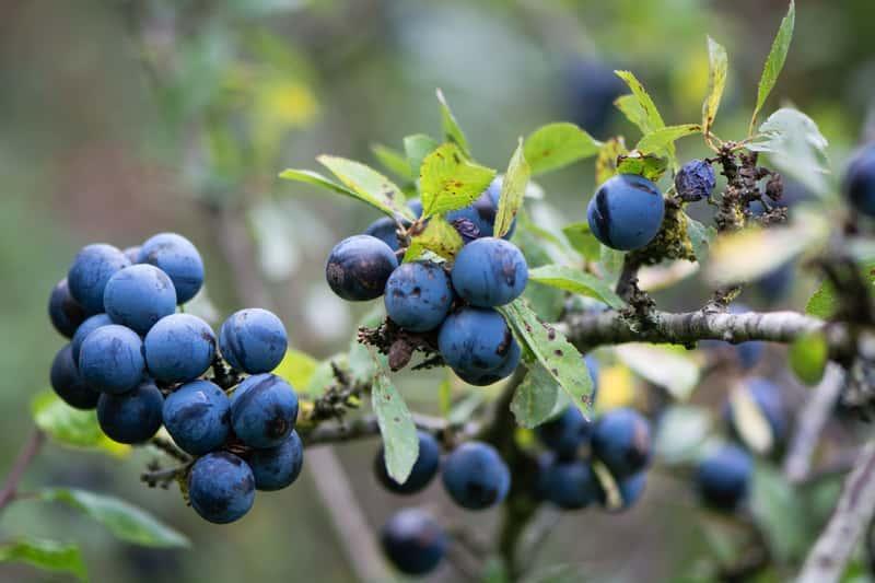 Granatowe owoce śliwy tarniny, a także zastosowanie owoców, najlepsze przepisy na przetwory z tarniny, sadzenie, uprawa, pielęgnacja,