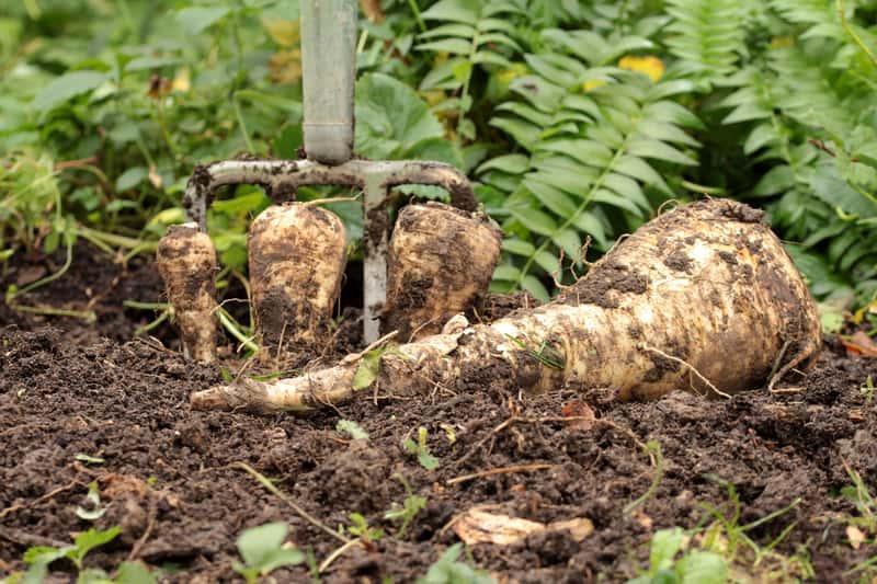 Pasternak podczas wykopywania w ogrodzie, a także odmiany, uprawa, pielęgnacja oraz zastosowanie pasternaku w kuchni