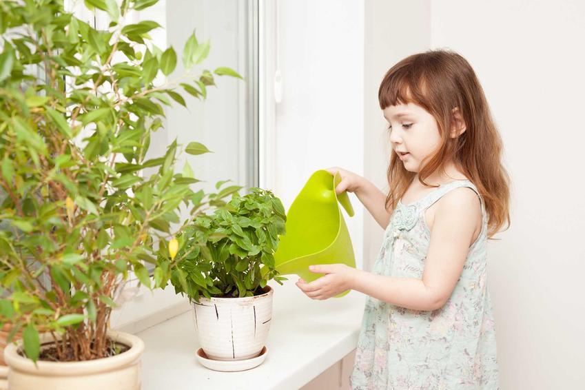 Pielęgnacja bazylii nie jest wymagająca. Roślina powinna być regularnie podlewana i nawożona, dobrze sprawdza się w doniczce