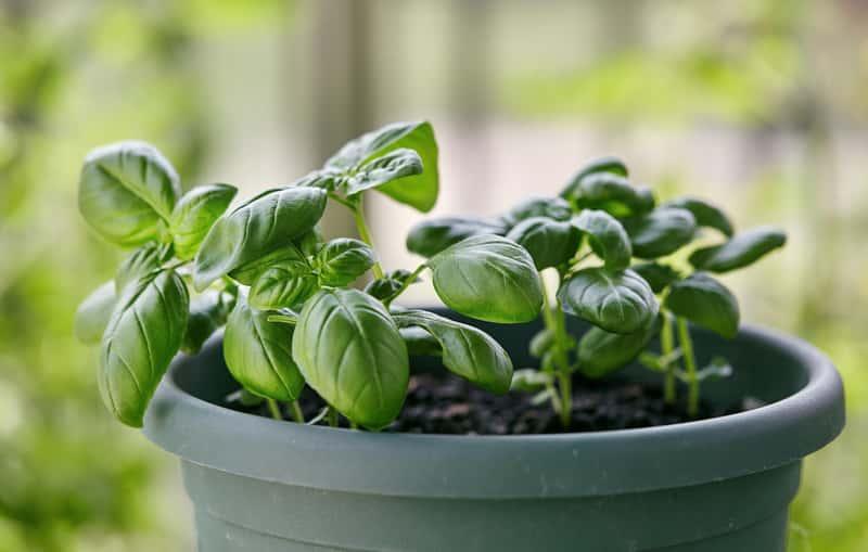 Bazylia w doniczce uprawiana na parapecie, a także sadzenie, pielęgnacja i podlewanie oraz zbiór krok po kroku