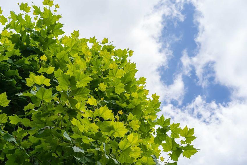 Platan klonolistny w ogrodzie bardzo szybko się przyjmuje, ma niewielkie wymagania uprawne, jednak jego pielęgnacja nie jest trudna. Jest to ogromne drzewo, które wspaniale wygląda w ogrodzie