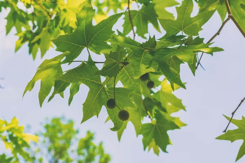 Liście i owoce platana klonolistnego, czyli platanus hispanica - odmiany,  wymagania, warunki uprawy, pelęgnacja - porady