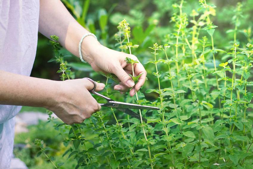 Majeranek w ogrodzie i majeranek w domu to łatwe do wyhodowania zioła, warto więc je posiać. Zwłaszcza, że majeranek ma bardzo szerokie zastosowanie w kuchni.