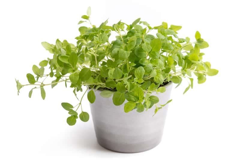 Majeranek rosnący w niewielkiej doniczce, a także uprawa w ogrodzie i pojemnikach, pielęgnacja, zastosowanie, właściwości lecznicze