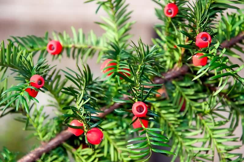 Cis pospolity z czerwonymi owocami, a także odmiany rośliny, sadzenie, pielęgnacja oraz uprawa w ogrodzie i na żywopłot