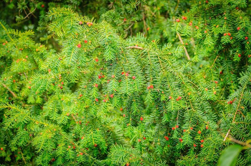 Cis pospolity to bardzo atrakcyjna roślina. Sadzenie i uprawa nie nastręczają problemów. Cena sadzonki sięga kilkudziesięciu złotych