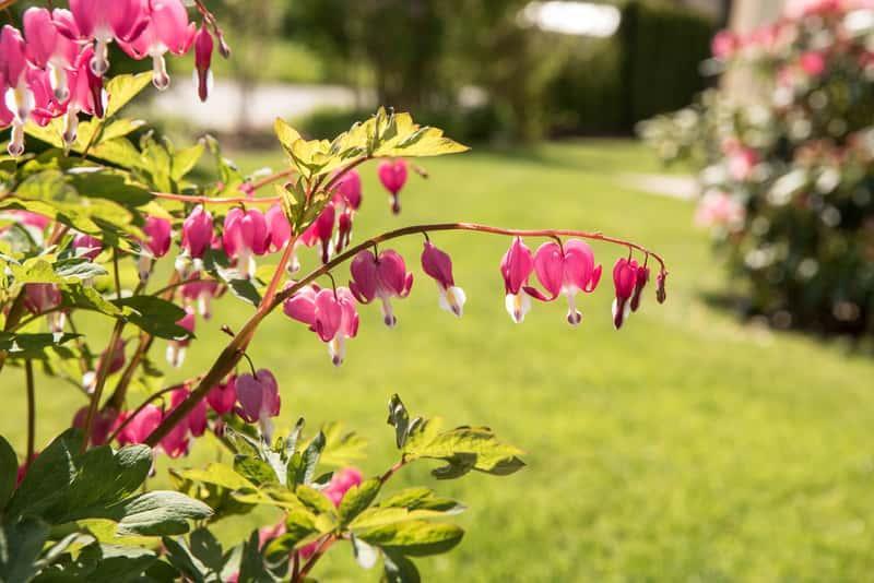 Serduszka okazała o czerwonych kwiatach w ogrodzie, a także sadzenie, uprawa oraz najważniejsze ciekawostki krok po kroku
