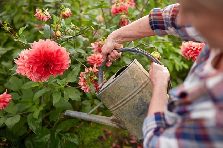 Dalia ogrodowa – odmiany, sadzenie, uprawa, pielęgnacja, choroby