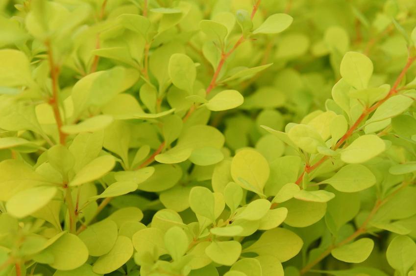 Zielona odmiana berberysu jest bardzo popularna. Uprawa tej odmiany jest bardzo łatwa, jest to świetny sposób na urozmaicenie rabaty w ogrodzie.