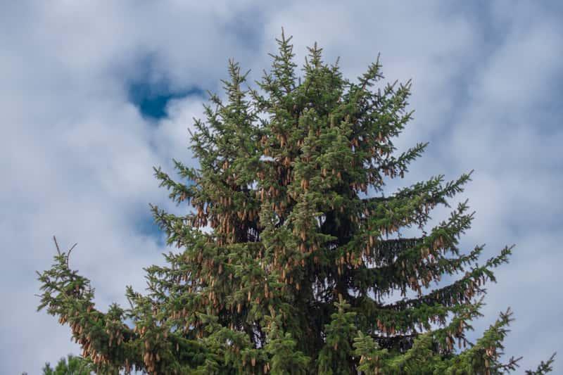 Wysoka sosna na tle nieba, a także popularne odmiany i gatunki sosny, które nadają się do uprawy w warunkach ogrodowych krok po korku
