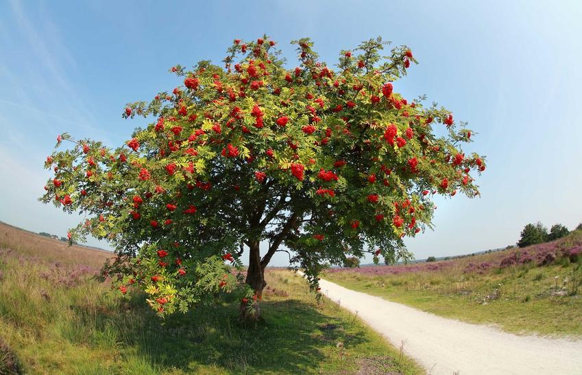 Drzewko jarzębinowe jest niezwykle ozdobne. W czasie owocowania roślina jest niezwykle dekoracyjna, ponieważ czerwone kuleczki owoców są przepiękne, a pielęgnacja drzewka jest wymagająca.