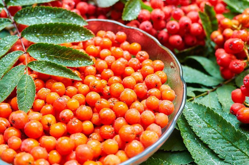 Jarzębina czerwona ma bardzo wiele właściwości leczniczych. Ma szerokie zastosowanie, jej owoce dobrze sprawdzają się na nalewkę lub przetwory, są kwaskowate w smaku.