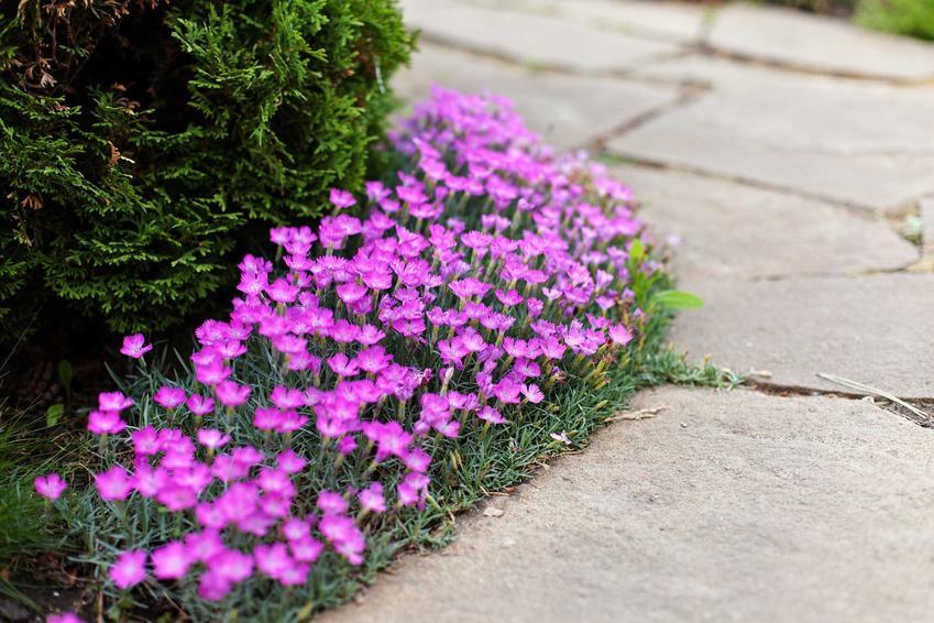 Goździk kropkowany to jedna z ładniejszych roślin do uprawy w ogrodzie. Niewielka rozstawa między sadzonkami sprawi, że stworzy kobierzec.