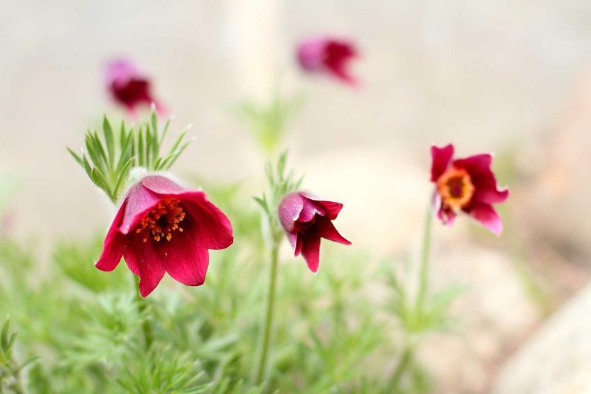Sadzenie sasanki to świetny pomysł, zwłasza w kompozycjach cebulowych kwitnących wiosną. Jej uprawa nie nastęcza żadnych problemów