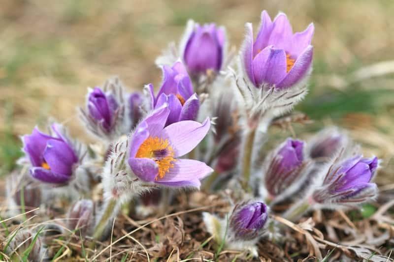 Sasanka o delikatnych białych kwiatach w ogrodzie, a także sadzenie, uprawa i pielęgnacja w ogrodzie na wiosnę