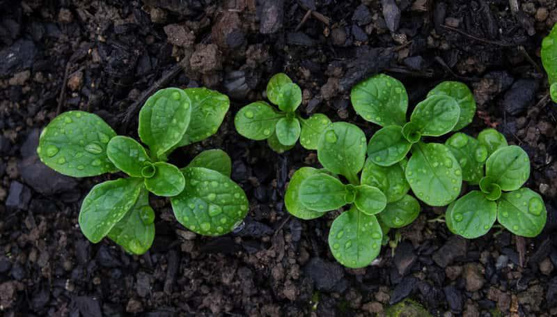 Delikatne listki roszponki w ogrodzie, a także uprawa, pielęgnacja, sadzenie oraz nawożenie krok po kroku i roszponka w uprawie domowej