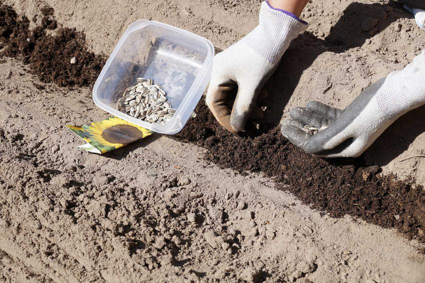 Sianie i uprawa słoneczników w ogrodzie nie są trudne. Pielęgnacja roślin nie jest trudna, ponieważ nie jest wymagająca. Wysiew przeprowadza się bezpośrednio do gruntu