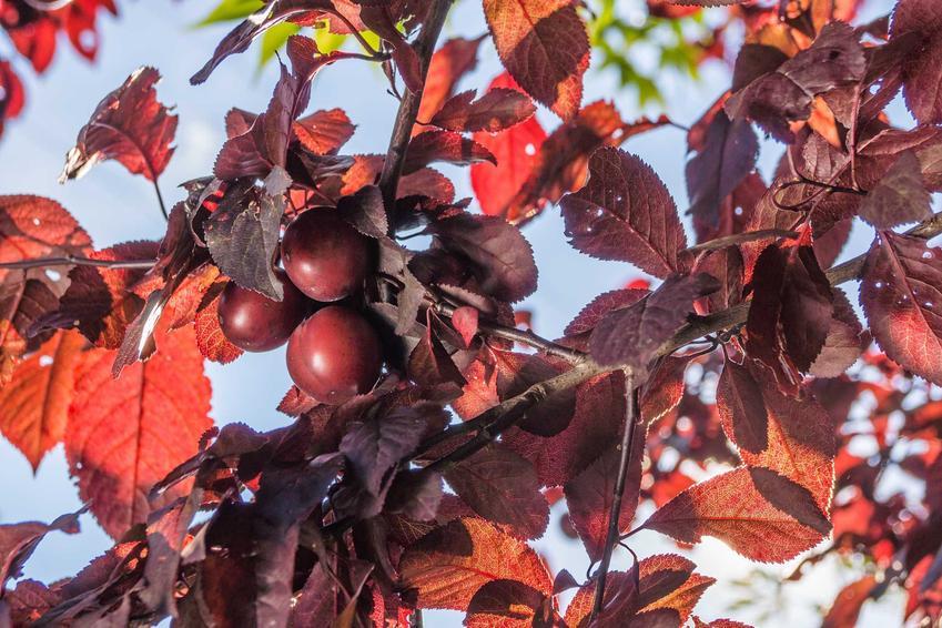 Śliwa wiśniowa - odmiany, uprawa, pielęgnacja, cięcie, cena