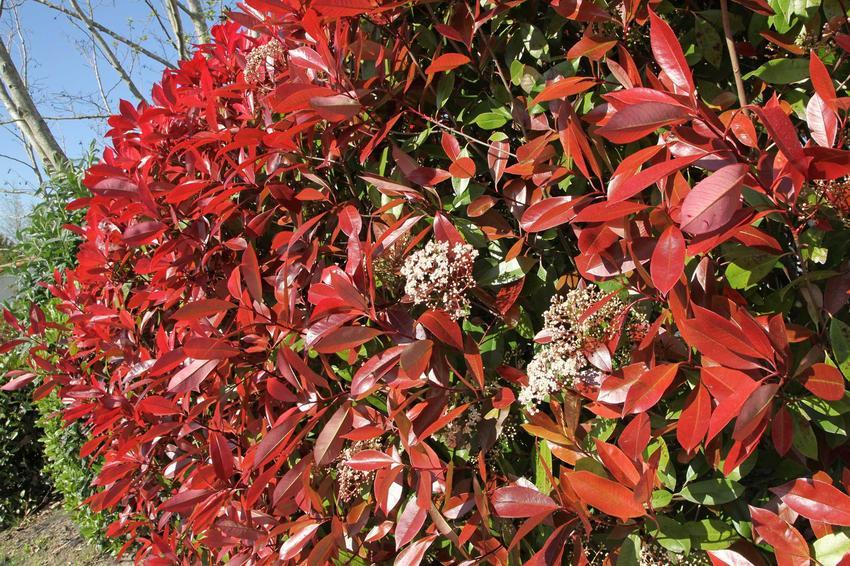 Kolorowy żywopłot wprowadzi do ogrodu dużo dynamiki. Jest bardziej oryginalny i pasuje do ogrodu w każdym stylu.